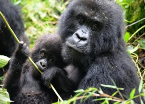Gorily ničí pytlácké pasti