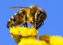 Pesticidy včelám chutnají až příliš