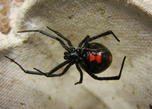 Proč je jed černých vdov tak nebezpečný?