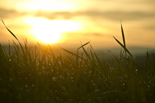 picture shows sunrise behind dewy grass