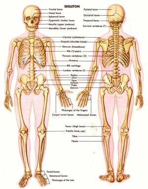 skeletal system  BODY SYSTEM
