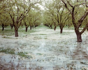 Almond-Trees-and-Flood-Irrigation