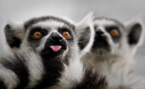 animals-animals-animals:</p> <p>Lemur Tongue (by swh)