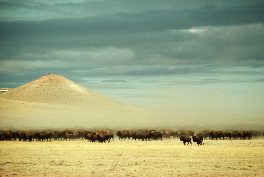 A herd of 2,400 buffalo roam free near Gillette, Wyoming, December 1979.Photograph by James L. Amos, National Geographic