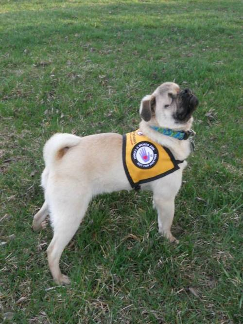 laughingsquid:</p> <p>Xander the Pug, A Blind Service Dog Who Helps Humans and Animals Alike