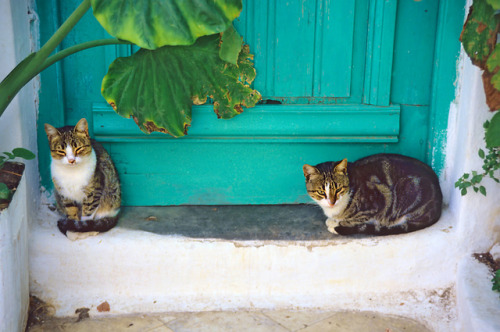 fuckyeahgreece:</p><p>Cats in Greece, Paros by h_roach on Flickr.<br />