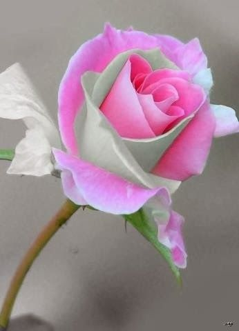 flowersgardenlove:</p> <p>So Pretty! Beautiful</p> <p>ONE ROSE<br /> CAN BE SO PERFECT.
