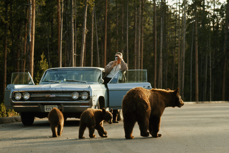 A park visitor films an American black bear and her two cubs in Yellowstone, December 1965.Photograph by Dean Conger, National Geographic