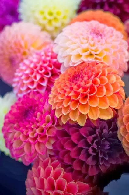 flowersgardenlove:</p> <p>Dahlias-vibrant and Beautiful</p> <p>FLOWERS!<br /> WHAT COULD BE PRETTIER?<br /> DAHLIAS IN CONTRASTING COLORS.<br /> PERFECT FOR A WINTER DAY.<br /> I'M TIRED OF WHITE—WHITE SNOW ,WHITE SKIES….</p> <p>