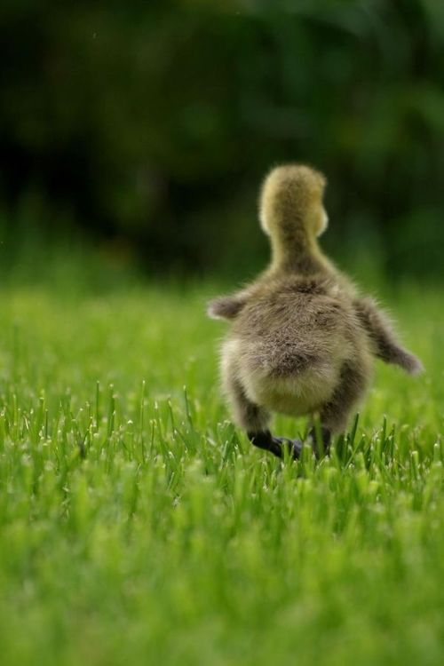 simply-beautiful-world:</p> <p>What can be better than to<br /> waddle around in peace<br /> and happiness?<br /> With no worries to mar<br /> its happy face.<br />