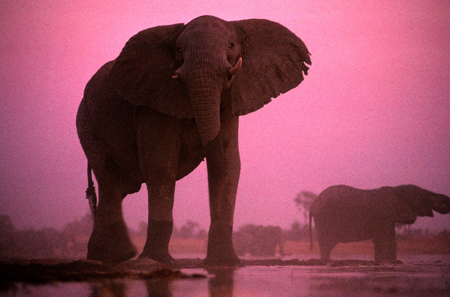 A bull African elephant in Botswana's Black Pools, May 1999.Photograph by Chris Johns, National Geographic