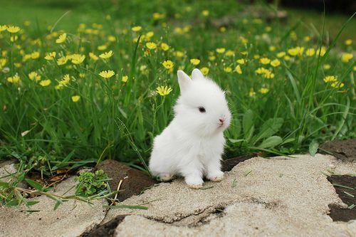أرنب عسل