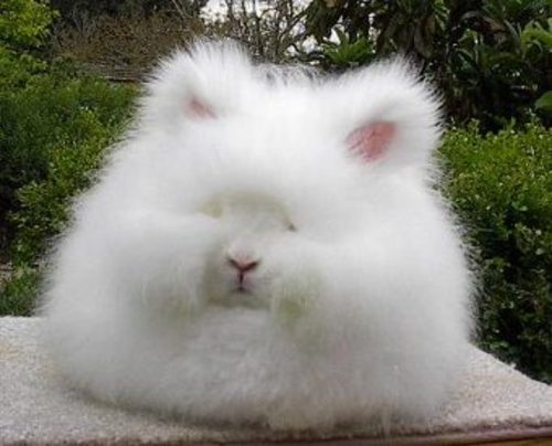 The Internet is for Angora-Häschen!