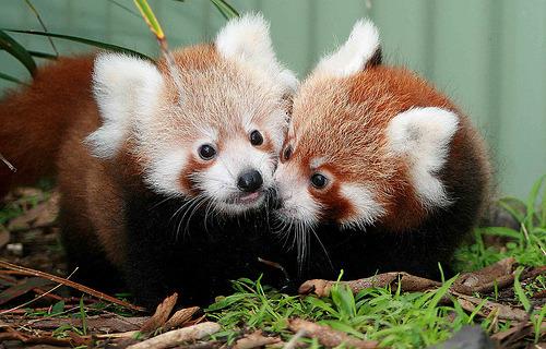 red pandas? :)