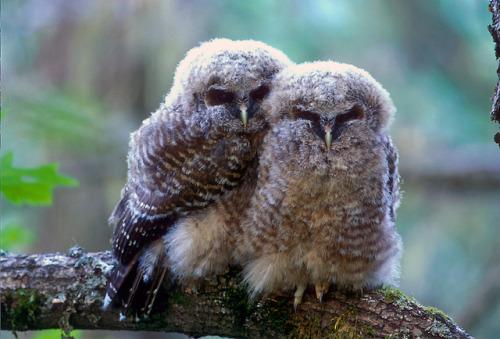 En esta foto, dos pollos de búho manchado descansar en una rama de árbol en Oregon.  En general, los números del búho manchado del norte han disminuido un 2,9% en promedio por año - que conduce a una disminución de aproximadamente el 40% en número en los últimos 25 años.  Las supuestas causas de la disminución son los efectos persistentes de pérdida del hábitat antiguo bosque de crecimiento anteriores a la década de 1990 y la creciente competencia de la owl.Which impedido por eso esta semana, en cumplimiento de una orden de un Tribunal de Distrito de EE.UU., el Servicio de Pesca y Vida Silvestre de EE.UU. Servicio anunció una propuesta basada en la ciencia del hábitat crítico para el búho manchado del norte que se inicia un proceso de revisión pública para determinar qué tierras forestales debe ser designada como hábitat crítico en una norma definitiva que se publicará en noviembre.  Esta propuesta recomienda un incremento sustancial de la gestión activa de los bosques, de conformidad con los principios ecológicos forestales, en las áreas designadas como hábitat crítico.  El anuncio de esta semana, que identifica las áreas que pueden ser considerados para la designación final, también hace hincapié en los beneficios significativos de la exclusión de las tierras privadas, y que cuenta junto con la evaluación económica importante será ayudar a informar a las áreas que serán excluidos de la designación definitiva .  Para obtener más información, haga clic en here.Photo: Tom Kogutus - USFWS