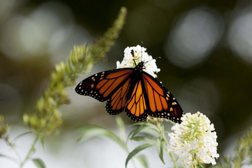 animals-animals-animals: Monarch (by Ennuipoet * FreeVerse Photography)
