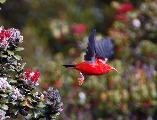 """Hakalau Bosque Nacional de Refugio de Vida Silvestre fue establecida en 1985 para proteger y administrar las aves de bosque en peligro de extinción (como el de Hawai I'iwi foto de arriba) y de su hábitat de la selva tropical.  Situado en la ladera de barlovento de Mauna Kea, Hawai, Isla de la Unidad de 32,733 acres de bosque Hakalau es compatible con una diversidad de aves y plantas nativas igualado por sólo uno o dos otras áreas en el Estado de Hawai. Ocho de los 14 especies nativas de aves que ocurren en Hakalau están en peligro.  Trece especies de aves migratorias y 20 especies introducidas, entre ellas ocho aves de caza, así como ope'ape'a en peligro de extinción """"(murciélago hoary hawaiano) también es frecuente el refugio.  Veinte y nueve especies de plantas raras se conocen desde el refugio y las tierras adyacentes.  Doce están en peligro de extinción.  Dos lobelias en peligro de extinción tienen menos de cinco plantas se sabe que existen en el wild.Photo: Donald Metzner, UFWS"""
