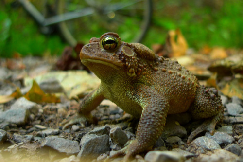 animals-animals-animals: American Toad (by dmott9)
