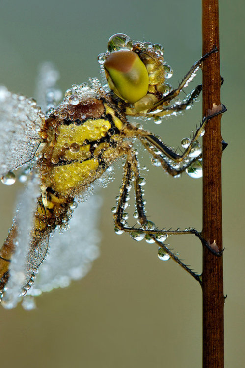 """earth-song:  """"Darter closeup"""" by Erik Veldkamp  How much heavier would we be if we carried water around the way this insect does? What if the fluid was lemonade? What would happen in a dust storm?"""