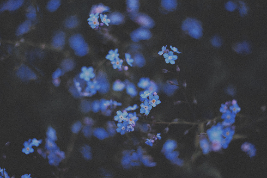 love-england:</p> <p>forget me not (by Annija Muižule)