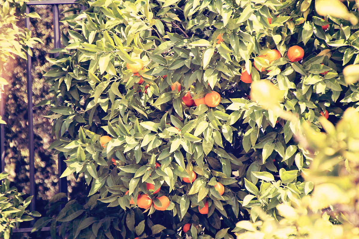 orange tree, borghese, rome, italy, 2012 (digital)