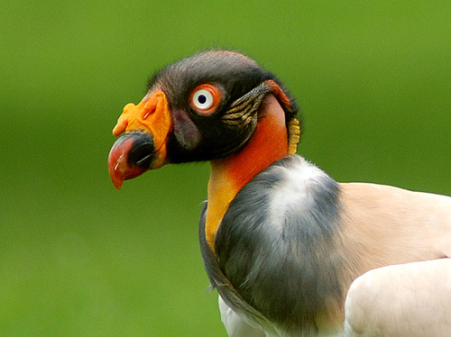 animals-animals-animals: King Vulture (by Sarah Gadd)
