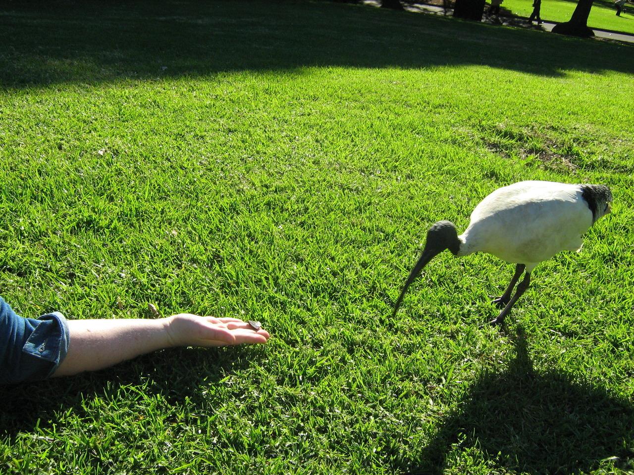 Ibis, Sydney