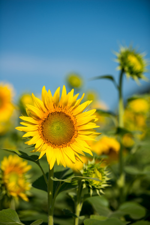 2012 Sunflower (by shinichiro*)