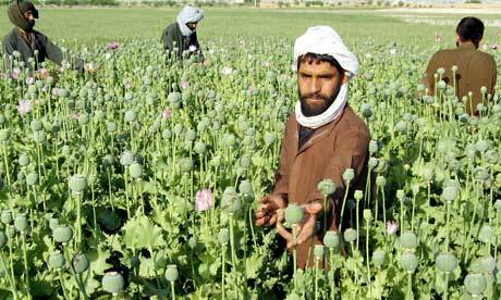 Afghan farmers working the poppy fields.
