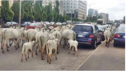 """Miyetti Allah: """"If Lagos State Passes Anti-grazing Law, Cows May Cost N2M Each"""""""