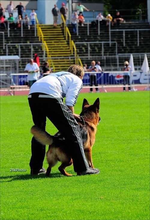 BSZS VA1 2008 & 2009 Vegas du Haut Mansard SChh3 KKL1a LBZ with handler ready for the long attack