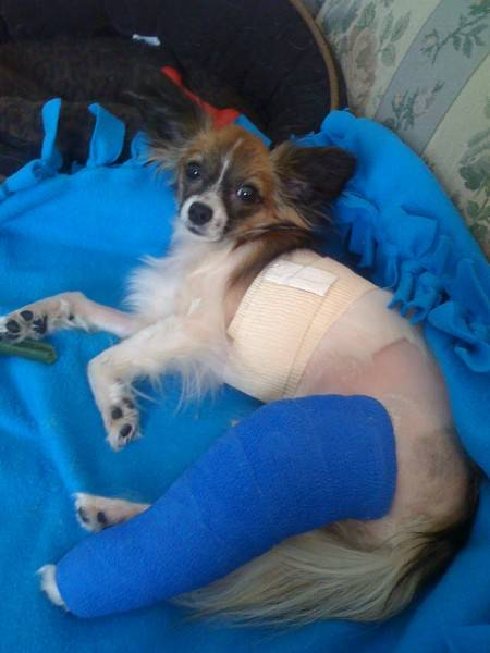 Lucy after her patellar surgery.