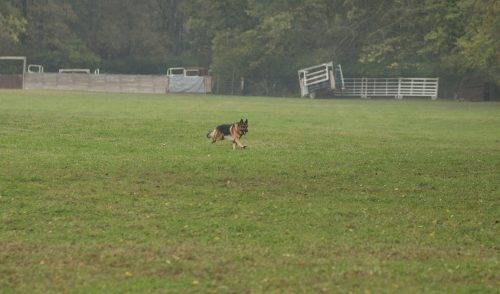 aiden-lure-coursing-1