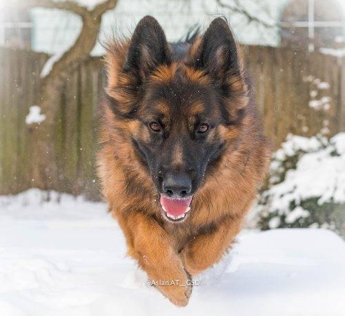 10. Aslan flying snow photo