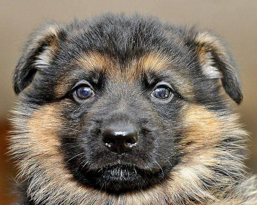 2. Blue collar male pup - 5 wks old Aiden