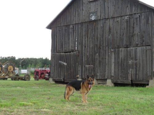 6-25-17 Farm Dog Test (17)