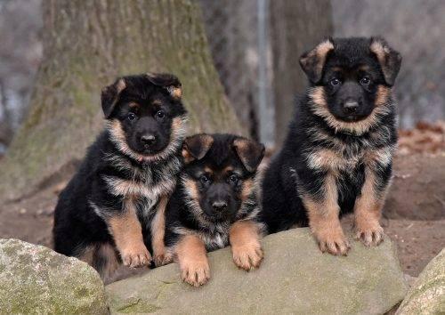 3 pups b