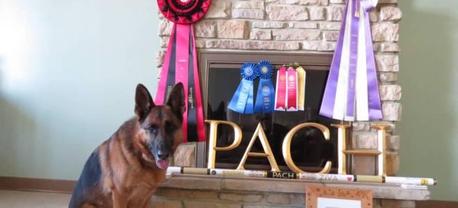 Multi- Performance Champion – – CT PACH Alta-Tollhaus Ziva!!!