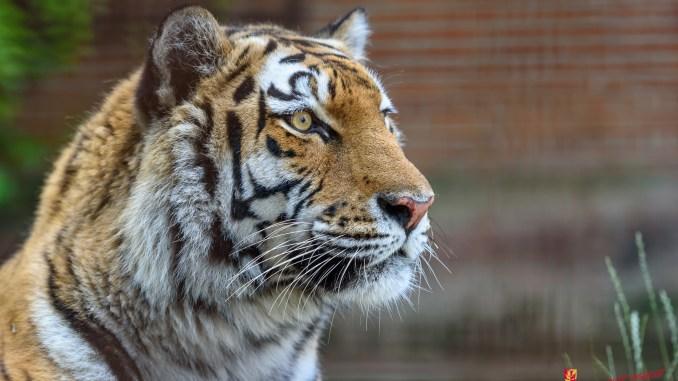 tiger dyr