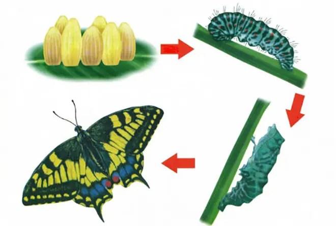 a pillangók és láncok életciklusa
