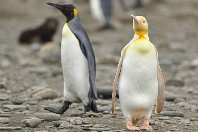 A yellow penguin you haven't seen before: a wildlife photographer takes an incredible picture