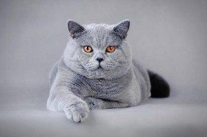 Характеристика британской кошки