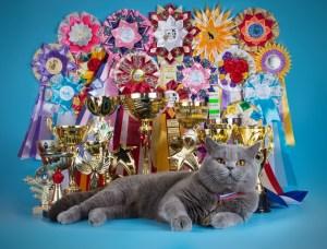 Британская кошка.Выставка