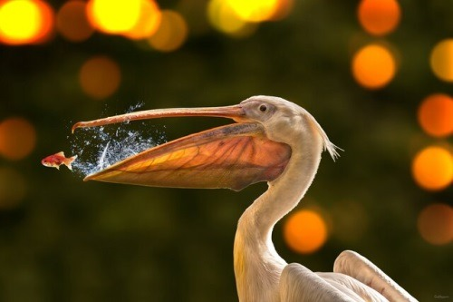 Fake fish and pelican
