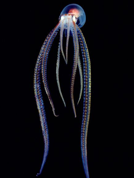 Pelagic Octopus Photograph by Chris Newbert, Minden Pictures