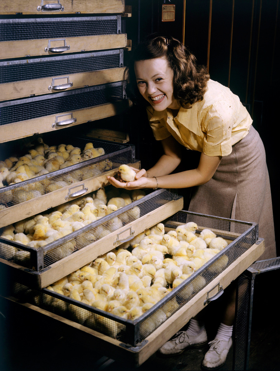Smiling young woman holds chick above chicken-filled incubator drawer in Arkansas, July 1944.Photograph by B. Anthony Stewart, National Geographic