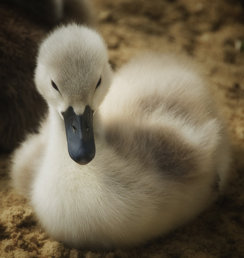 "Photo ""the ugly duckling (el patito feo)"" by Rudolf Moerkl"