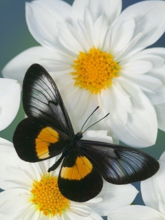 flowersgardenlove:</p> <p>Miyana Meyeri Butter Beautiful</p> <p>THE PERFECT RELATIONSHIP<br /> The flower and the butterfly need each other<br /> to survive in this harsh world.<br /> People can learn from this and<br /> create their own symbiotic relationships.