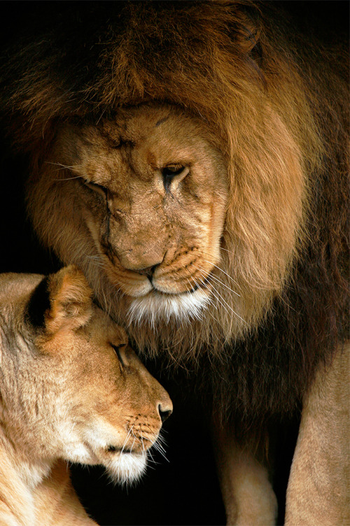 Lion Love by Stephan W Oachs via Amolife/b>