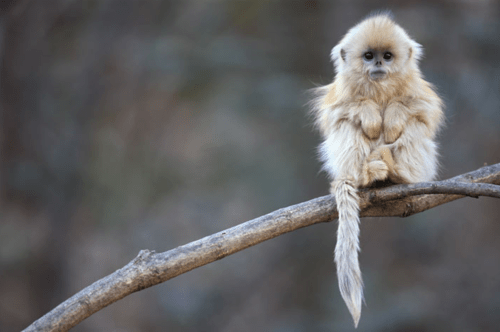 briahere:  omg. What is this adorable little creature. Look at it little arms all tucked up, omfg, look at it's tail and it's little furry afro.  OMG I WANT ONE.